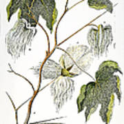 Cotton Plant, 1796 Print by Granger