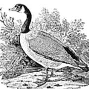Cravat Goose Print by Granger