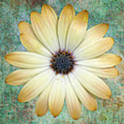 Cream Coloured Daisy Print by Chris Thaxter