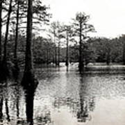 Cypress Trees In Louisiana Print by Ester  Rogers