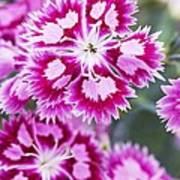 Dianthus Cranberry Ice Flowers Print by Jon Stokes