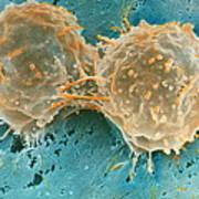 Dividing Cells Print by Professor P. Motta & D. Palermo
