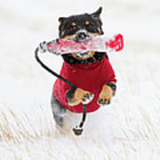 Dog Playing In Snow Print by Paws on the Run Photography