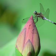 Dragonfly And Lotus Bud Print by masahiro Makino