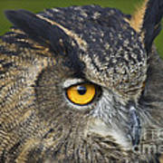 Eagle Owl 2 Print by Clare Bambers