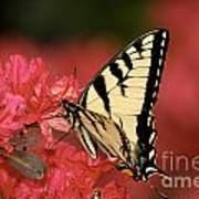 Eastern Yellow Tiger Swallowtail And Azaleas Print by Lara Ellis