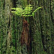 Epiphytic Fern Growing On Redwood Print by Gerry Ellis