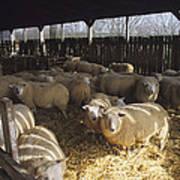 Ewes Print by David Aubrey