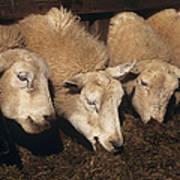 Ewes Feeding Print by David Aubrey