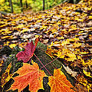 Fall Leaves In Forest Print by Elena Elisseeva
