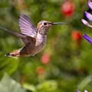Female Allen's Hummingbird Print by Mike Herdering