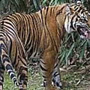 Ferocious Tiger Print by Brendan Reals