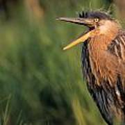 Fledgling Great Blue Heron Print by Natural Selection Bill Byrne