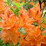 Floral Art Prints Orange Rhodies Flowers Print by Baslee Troutman