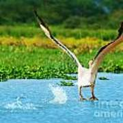 Flying Great White Pelican Print by Anna Omelchenko