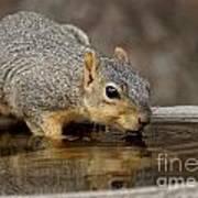 Fox Squirrel Print by Lori Tordsen