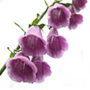 Foxglove Flowers Print by Tony Cordoza