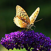 Fritillary Butterfly On Butterfly Bush, Near Madoc, Ontario, Canada Print by Janet Foster
