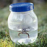 Frog In A Jar Print by Adam Crowley