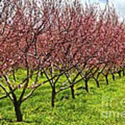 Fruit Orchard Print by Elena Elisseeva