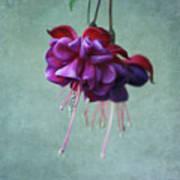 Fuschia Flower Print by Kim Hojnacki