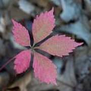 Fushia Leaf 2 Print by Douglas Barnett