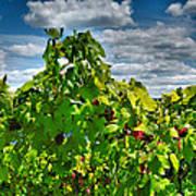 Grape Vines Up Close Print by Steven Ainsworth