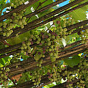 Grapes Grow On Vines Draped Print by Heather Perry