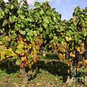 Grapes Growing On Vine Print by Bernard Jaubert