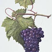 Grapes  Print by Margaret Ann Eden