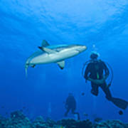Gray Reef Shark With Divers, Papua New Print by Steve Jones
