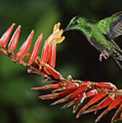 Green-crowned Brilliant Heliodoxa Print by Michael & Patricia Fogden