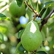 Green Pear Print by Carol Groenen