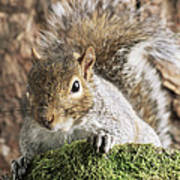 Grey Squirrel Print by David Aubrey