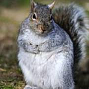 Grey Squirrel Sitting On The Ground Print by Colin Varndell