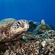 Hawaiian Turtle On Pacific Reef Print by Dave Fleetham