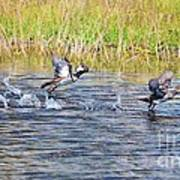 Hooded Mergansers Take Flight Print by Lynda Dawson-Youngclaus