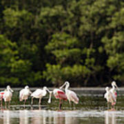 Juvenile And Adult Roseate Spoonbills Print by Tim Laman