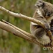 Koala At Work Print by Bob Christopher