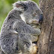Koala Phascolarctos Cinereus Sleeping Print by Pete Oxford
