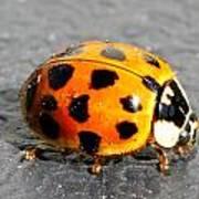Ladybug In The Sun Print by Mark J Seefeldt
