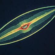 Lm Of A Diatom Alga, Caloneis Permagna Print by Eric Grave