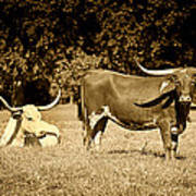 Longhorn Cows Rsting In Monochrome Print by M K  Miller