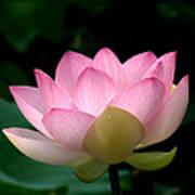 Lotus Beauty--blushing Dl003 Print by Gerry Gantt