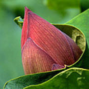 Lotus Bud--bud In A Blanket Dl049 Print by Gerry Gantt