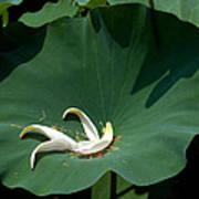 Lotus Leaf--castoff IIi Dl060 Print by Gerry Gantt