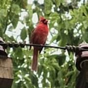 Male Cardinal One Print by Todd Sherlock
