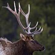 Male Elk Cervus Canadensis Print by Richard Wear