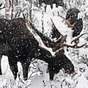Male Moose Grazing In Snowy Forest Print by Philippe Henry