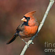 Male Northern Cardinal - D007813 Print by Daniel Dempster